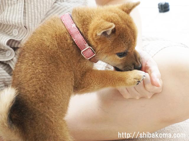 柴犬コマリ 子犬の首輪