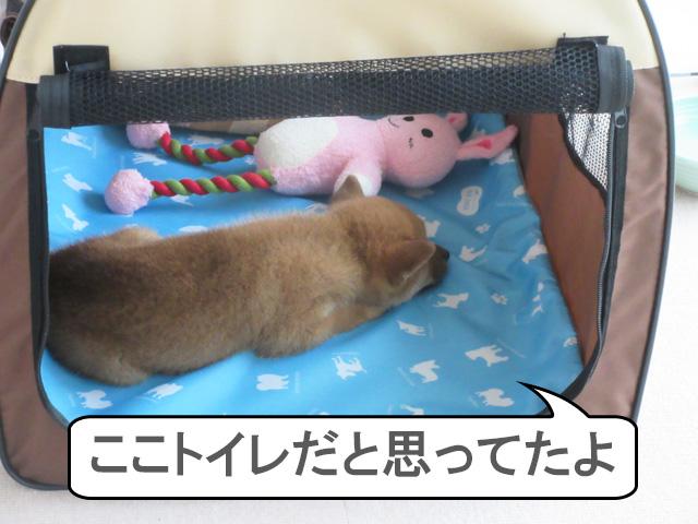 柴犬 柴犬コマリ ハウストレーニング