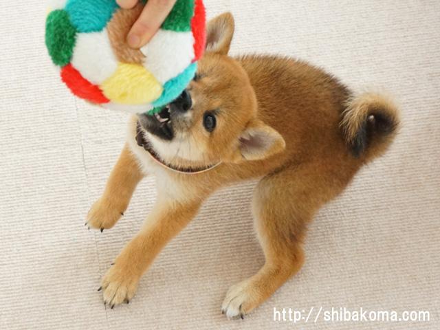 柴犬コマリ 柴犬子犬