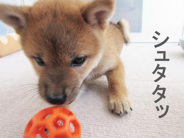 柴犬子犬 柴犬コマリ