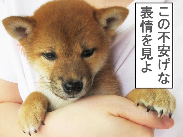 柴犬 柴犬コマリ 抱っこ散歩