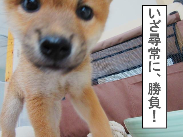柴犬 柴犬コマリ 甘噛み