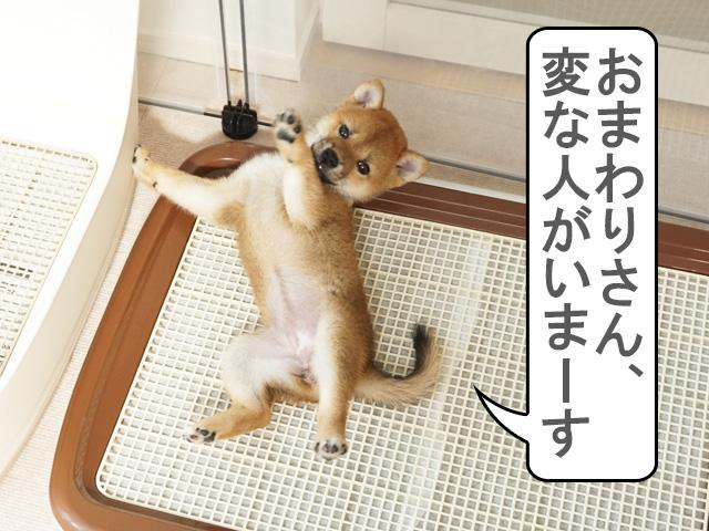 柴犬 柴犬コマリ トイレトレーニング