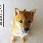 柴犬 柴犬コマリ オスワリ