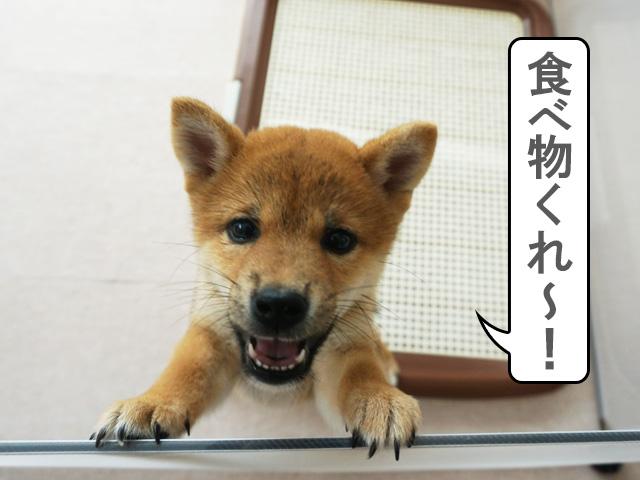 柴犬 柴犬コマリ 子犬
