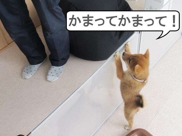 柴犬コマリ