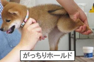 柴犬コマリ 爪切り