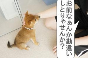 柴犬コマリ 柴犬 安西先生
