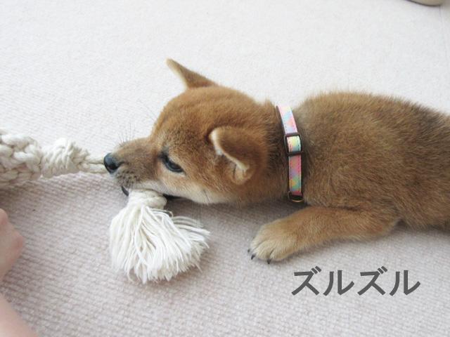 ハミガキコットン ループS 犬のおもちゃ