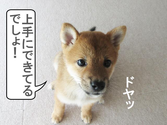 柴犬コマリ オスワリ コマンド