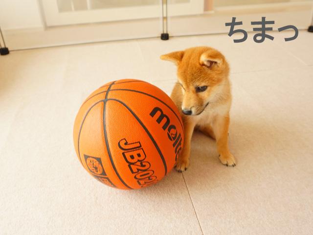 柴犬 柴犬コマリ バスケ