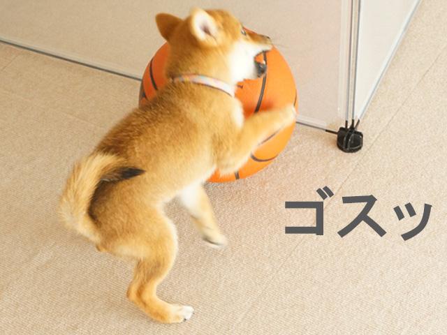 柴犬 柴犬コマリ スラムダンク