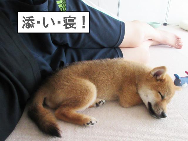柴犬 柴犬コマリ 添い寝