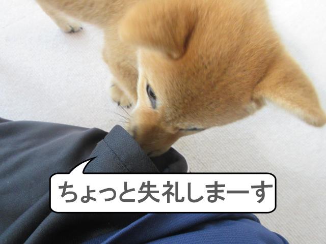 柴犬 柴犬コマリ ポケット