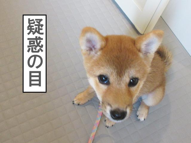 柴犬 柴犬コマリ お風呂