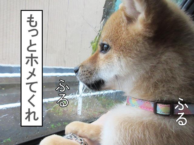 柴犬 柴犬コマリ 福田