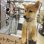 柴犬 柴犬コマリ カインズ ペットカート