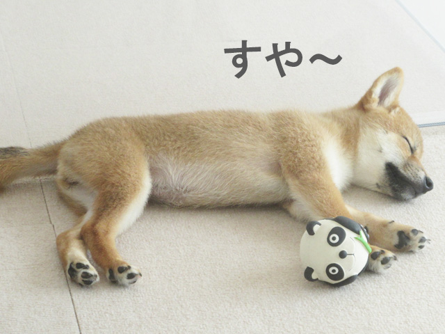 柴犬 柴犬コマリ 熟睡