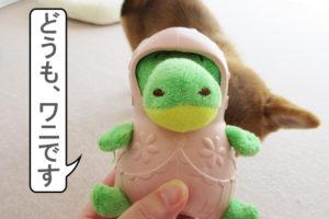 柴犬 柴犬コマリ ワニ