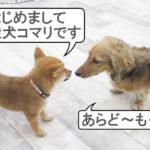 柴犬コマリ しつけ教室