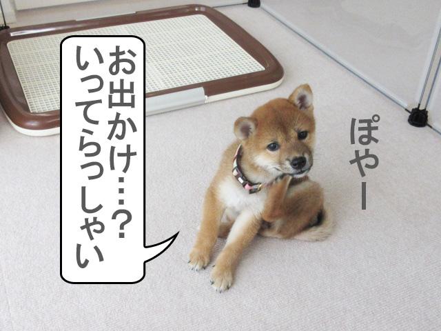 柴犬 柴犬コマリ お出かけ