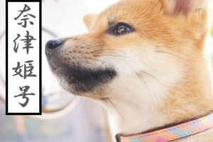 柴犬 柴犬コマリ 日本犬血統書