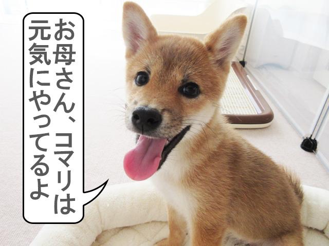 柴犬コマリ 血統書