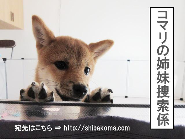 柴犬 柴犬コマリ 血統書