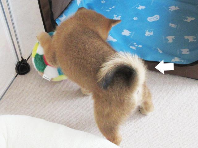柴犬 柴犬コマリ 尻尾