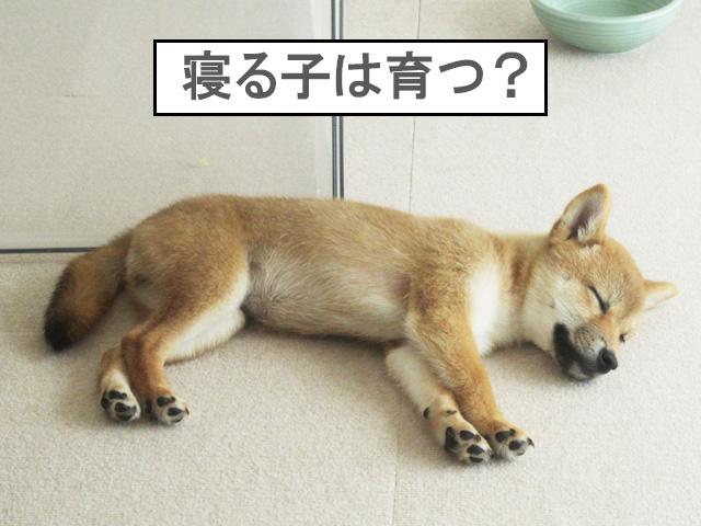 柴犬 柴犬コマリ 寝る子は育つ