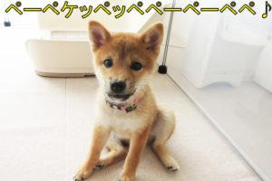 柴犬 柴犬コマリ ライザップ