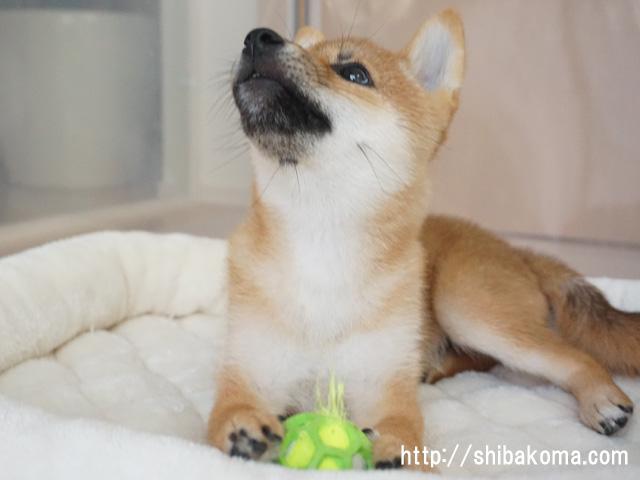柴犬 柴犬コマリ テニスボール