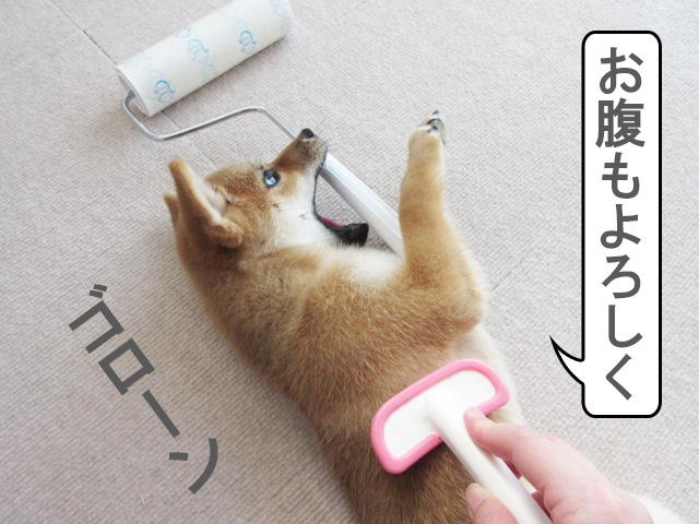 柴犬 柴犬コマリ ブラッシング