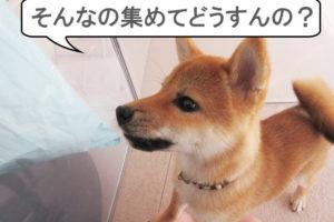 柴犬 柴犬コマリ 抜け毛