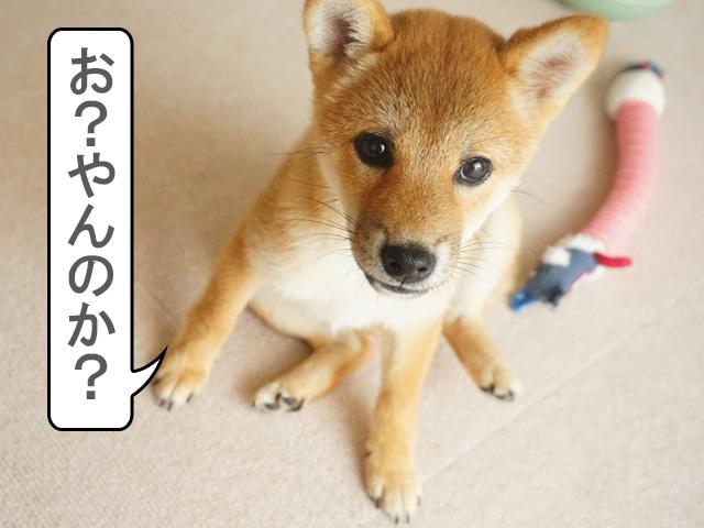 柴犬 柴犬コマリ ヤンキー座り