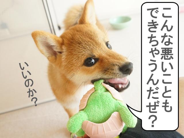 柴犬 柴犬コマリ ヤンキー