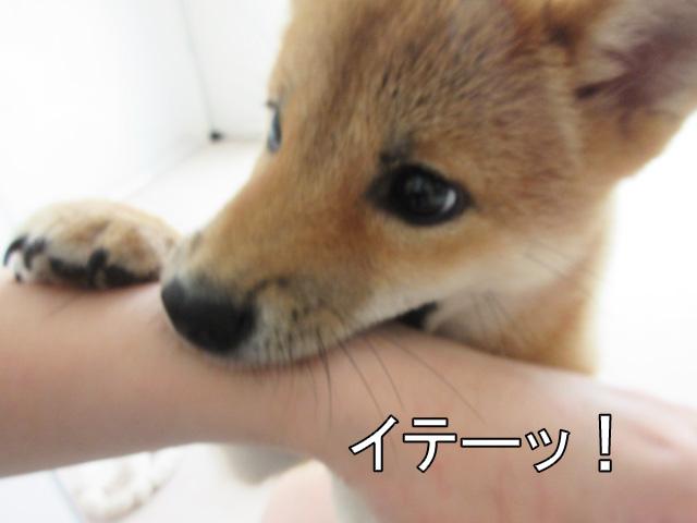 柴犬 柴犬コマリ 噛み癖