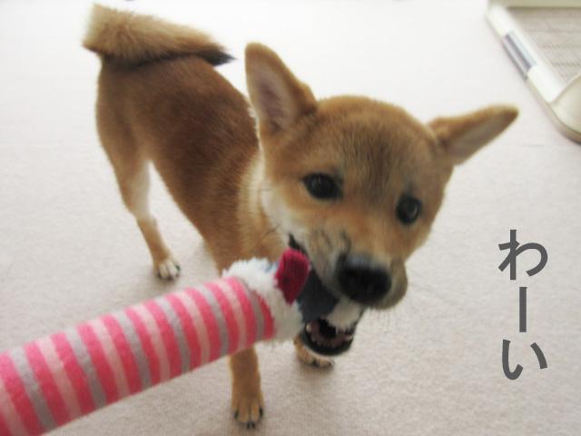 柴犬 柴犬コマリ 遊び