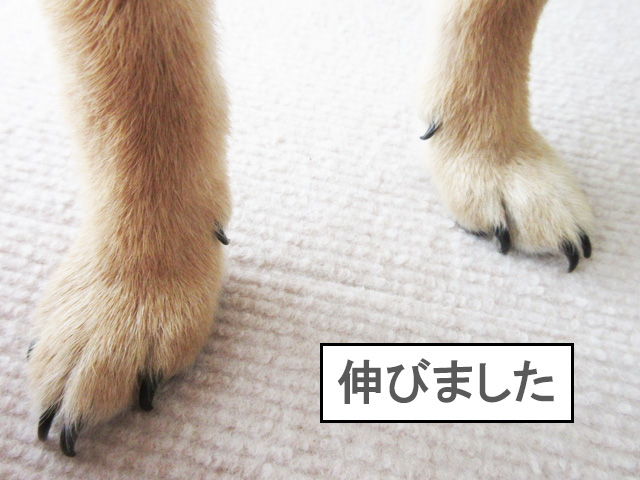 柴犬 柴犬コマリ 爪切り