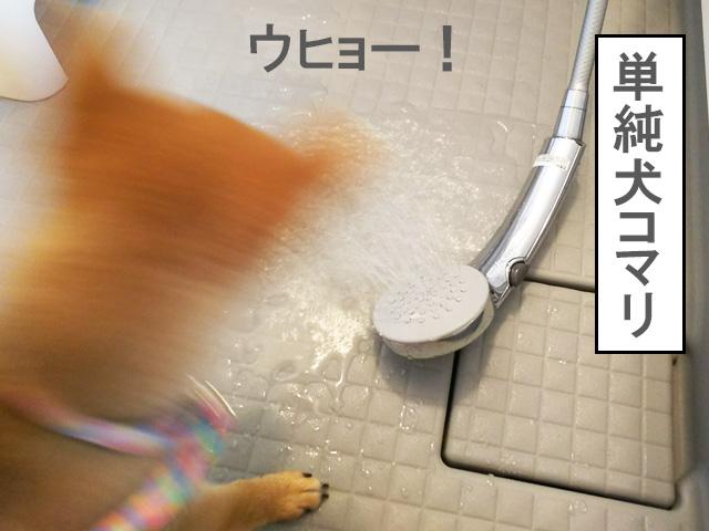 柴犬 柴犬コマリ シャワー