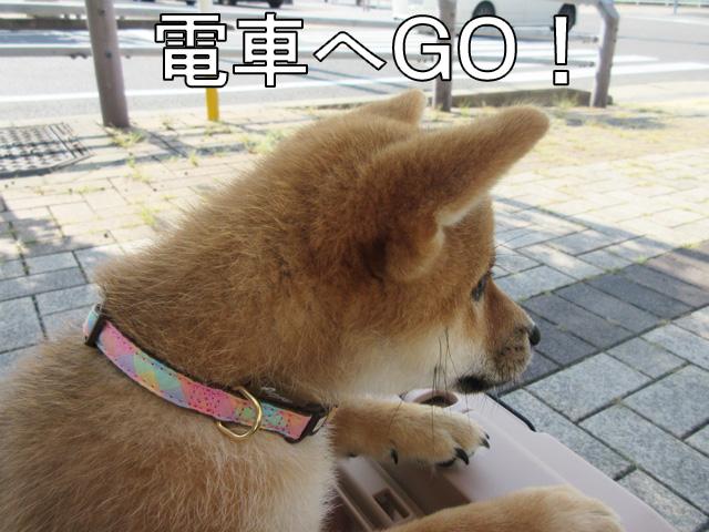 柴犬 柴犬コマリ 電車でGO