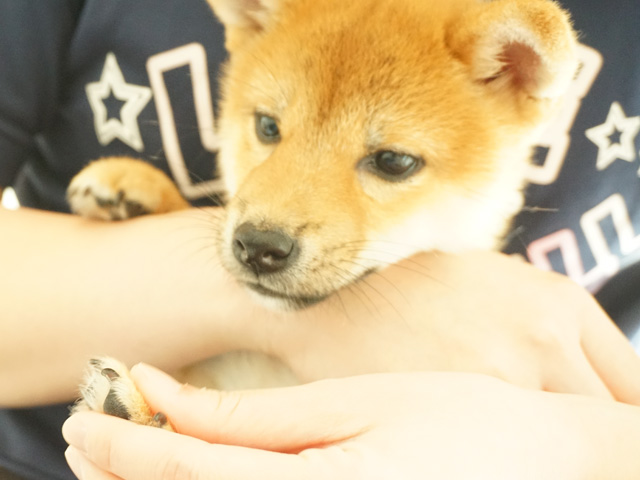 タッチトレーニング 子犬 柴犬