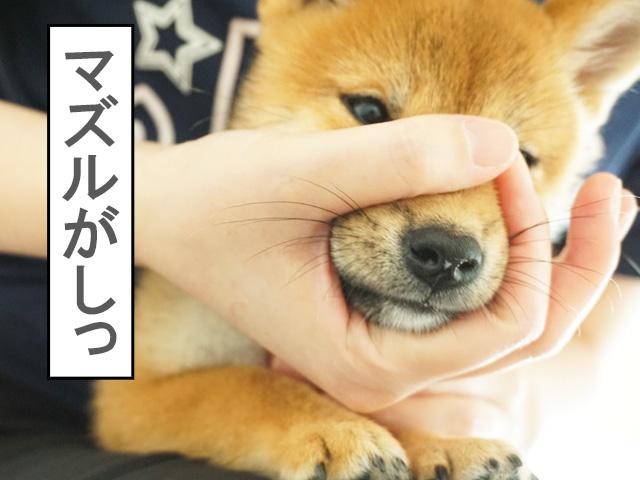 タッチトレーニング 子犬 柴犬 マズルコントロール