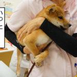 柴犬 柴犬コマリ ワクチン接種