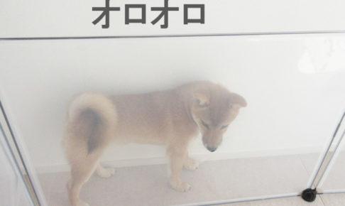 柴犬 柴犬コマリ