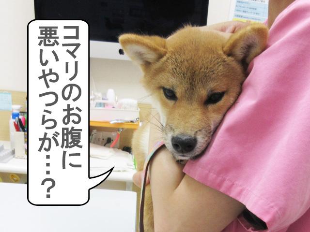 柴犬 柴犬コマリ クロストリジウム