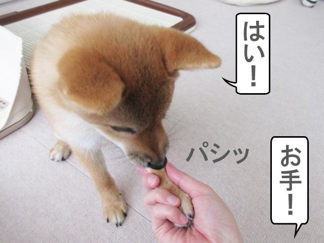 柴犬 柴犬コマリ コマンド