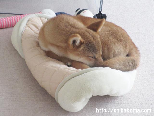 柴犬 柴犬コマリ フカフカ