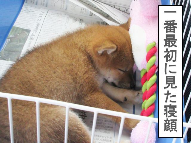 柴犬 柴犬コマリ 寝顔
