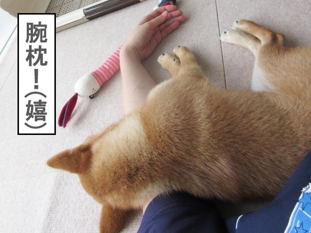 柴犬 柴犬コマリ 腕枕
